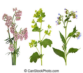 Medicinal Herbs in Flower - Valerian, ladys mantle and...
