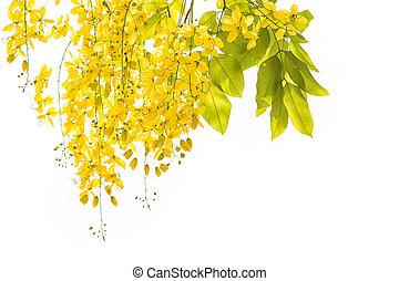 Golden shower Cassia fistula, Beautiful flower in summer...