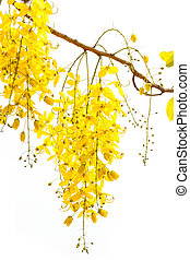 Golden shower Cassia fistula, Beautiful flower in summer...