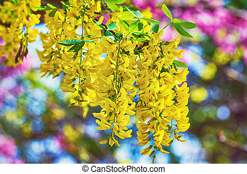 Common Laburnum Flowers - Racemes of Yellow Common Laburnum...