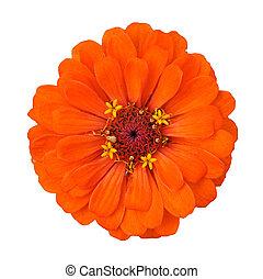 orange flower isolated on white background - orange flower...