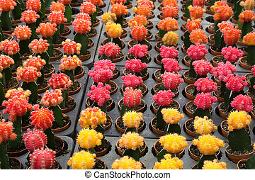 Red and yellow cactus desert plant - Red and yellow cactus...