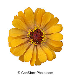 Yellow flower isolated on white background - One Yellow...