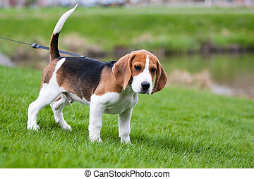Beagle on green grass - Dog on green meadow. Beagle puppy...