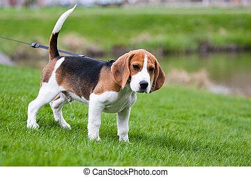 beagle, verde, capim