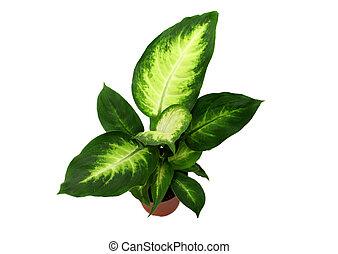 Dieffenbachia Houseplant - Dieffenbachia plant, isolated