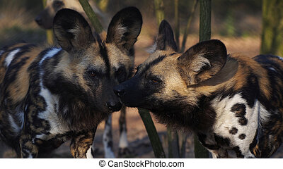 African wild dogs - African Painted Dog Lycaon pictus