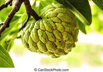 custard apple - The custard apple tree is not especially...