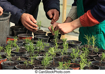 Planting a tree - Putting young trees in vases using hands.
