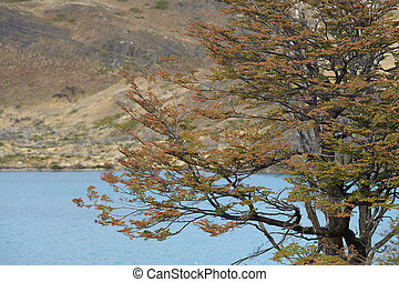 Autumn in Torres del Paine - Autumn foliage on a tree...