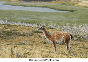Guanaco in Patagonia - Guanaco (Lama guanicoe) standing...