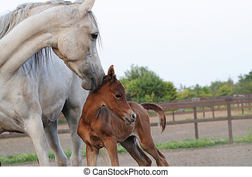 Arabian Mare and Foal - Purebred Arabian horses