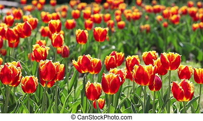 Tulips. A lot of red tulips swaying in the wind. - Tulips. A...