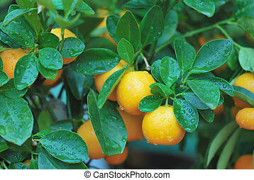 beautiful fresh untouched fruits of calamondin tree