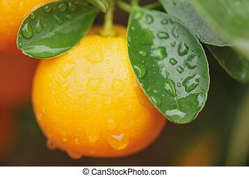 riped calamondin - calamondin fruit int the tree right after...