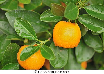 calamondin tree with some fresh orange fruits