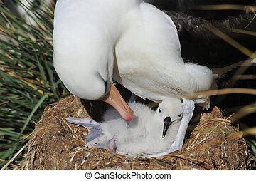 Black browed albatross Saunders Island - Black-browed...