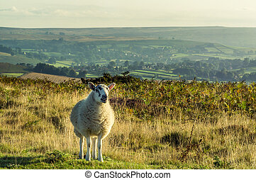 Moorland sheep - A sheep standing in moorland on the North...