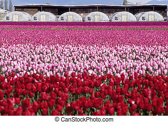 Tulip field and greenhouses