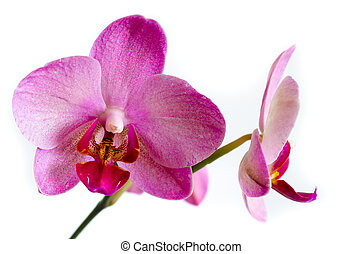 orchid flower isolated on a white background