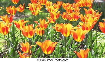 Tulips A lot of red tulips swaying in the wind - Tulips A...