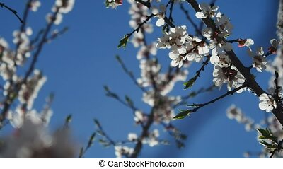 Apricot branch blossom video flower spring sunlight glare...