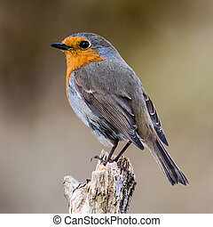 Perching - Robin Erithacus rubecula perching on a broken...