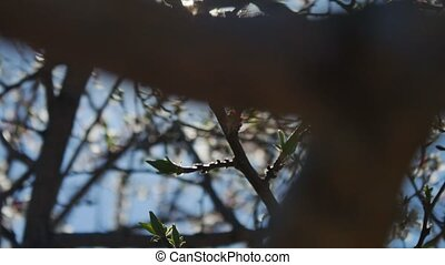Apricot branch blossom flower spring video sunlight glare...