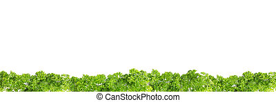 line of parsely - healthy green fresh herbs against white...