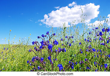 field with wild blue  flowers, Portugal