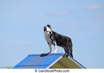 Boston Terrier at Dog Agility Trial
