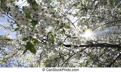 Beautiful nature scene with blooming tree and sun flare. -...