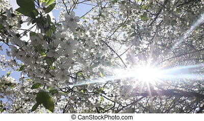 Beautiful nature scene with blooming tree and sun flare -...