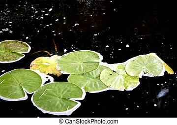 Lily Pads in the Pond - Lily Pads floating along a pond