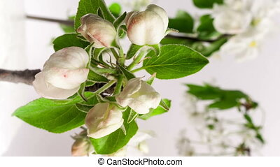 Timelapse video of an apple flower blossoming