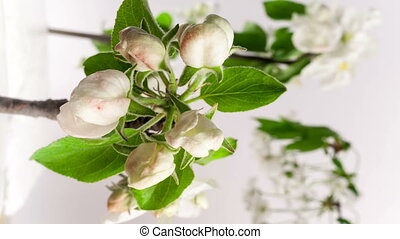 4k 25 fps time lapse video of an apple flower blossoming -...