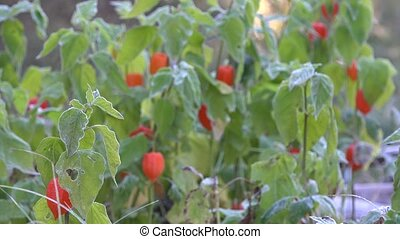 Orange husk tomato plants covered with hoar frost. Focus...