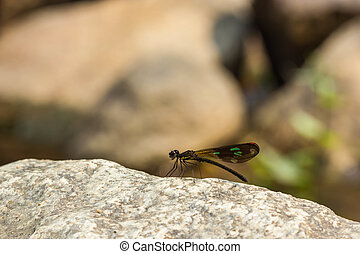 Damsel Flies at water fall