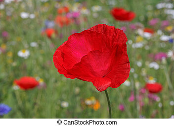 red poppy - close up of red poppy