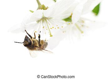 Honeybee and white flowers - Nature background Honeybee and...