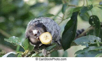 Marmoset Monkey Eating Banana