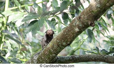 Scared Marmoset Monkey