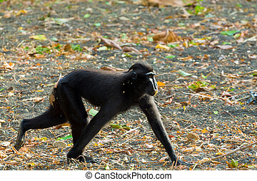 Celebes crested macaque, Sulawesi, Indonesia - running...