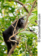 Celebes crested macaque, Sulawesi, Indonesia - Celebes...