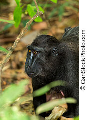 portrait of Celebes crested macaque - portrait of Ape Monkey...