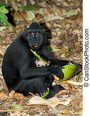 Celebes crested macaque, Sulawesi, Indonesia - portrait of...