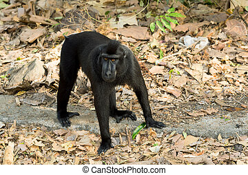 Celebes crested macaque, Sulawesi, Indonesia - Big male of...