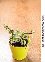 Portulacaria Afra succulent