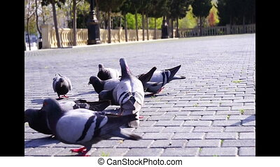 Hungry pigeons bird swarming the loaf of bread and eat get...