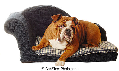 dog on a doggy couch - english bulldog on blue dog couch...